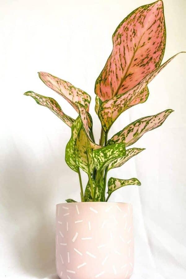Lady Valentine Aglaonema, Plantly