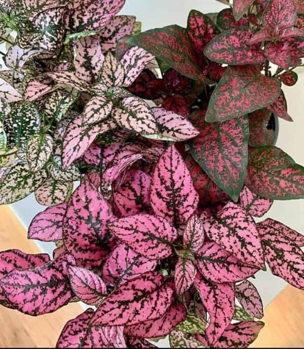 Hypoeste Phyllopachya – Polka Dot Plant, Plantly