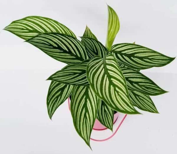 Calathea Vittata Elliptica, Plantly