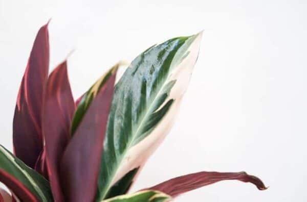 Stromanthe Sanguinea Tricolor, Plantly