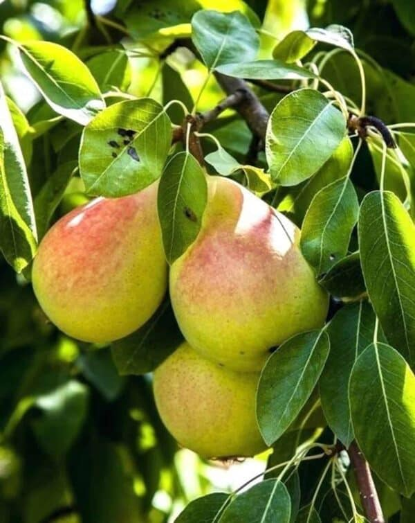 Moonglow Pear Tree, Plantly