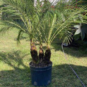 Dwarf Canary Island Date Palm