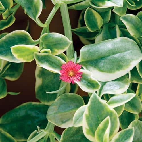 Dorotheanthus bellidiformis | Mezoo trailing red | Livingstone Daisy, Plantly