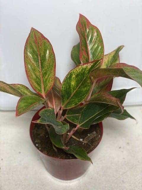 Aglaonema (Chinese Evergreen), Plantly