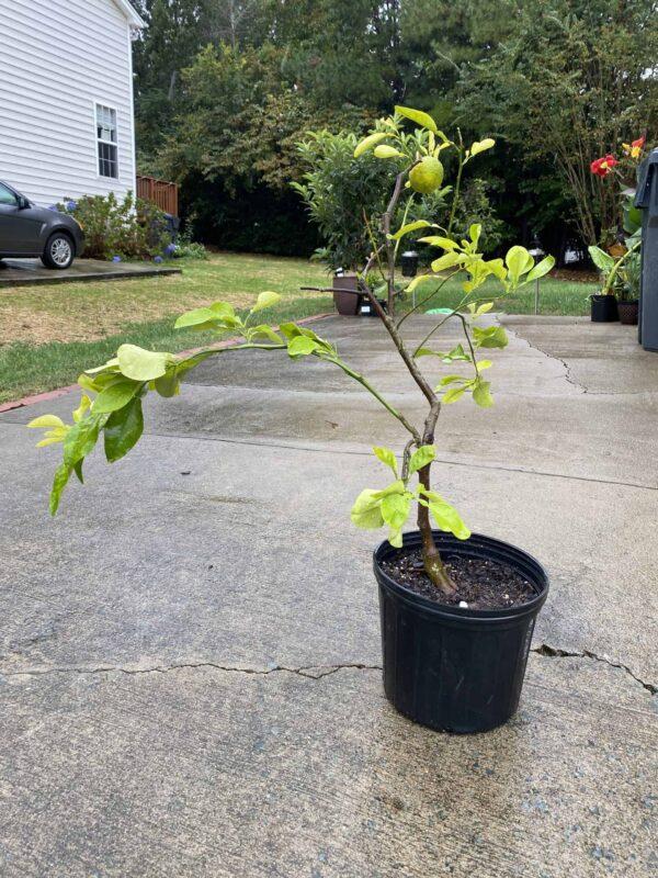 Ichang Lemon Tree – Grow lemons in NC!, Plantly