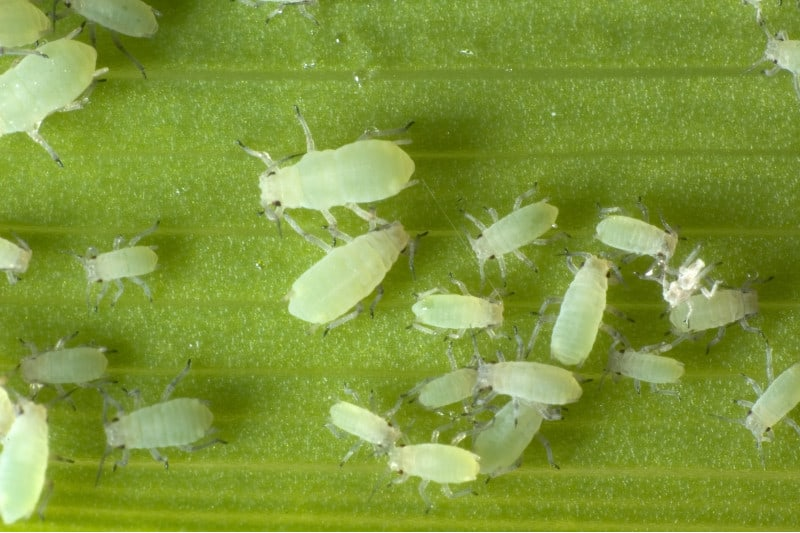 mealy bugs plant pest
