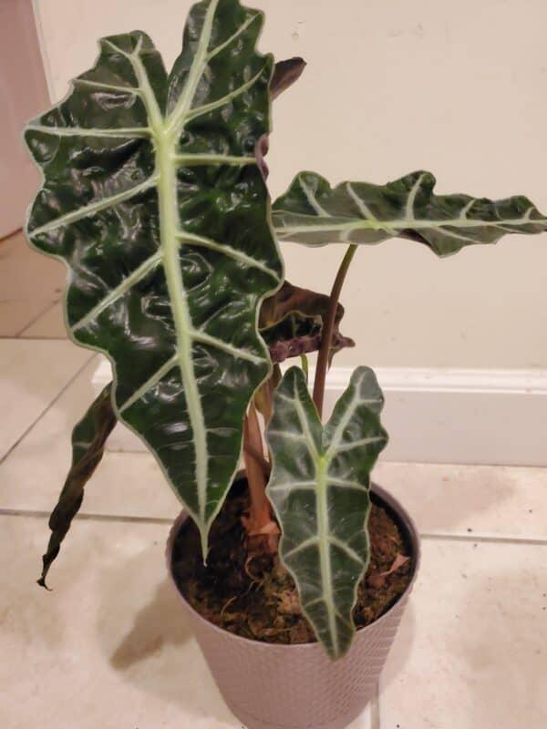 "Alocasia Polly also known as ""Alocasia Amazonica"", Plantly"