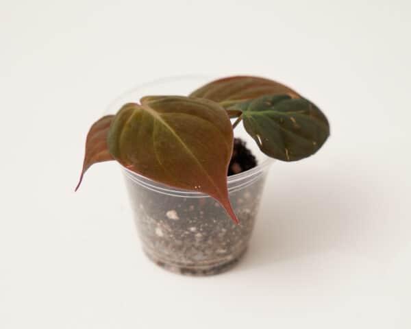 Philodendron Micans Velvet Leaf Plant, Plantly