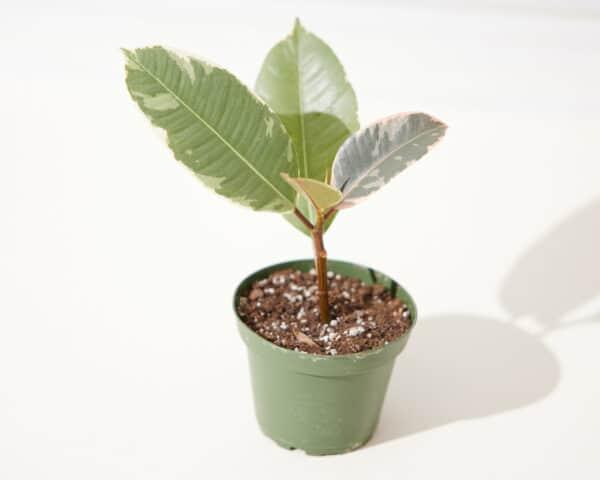 Variegated Rubber Plant Ficus Elastica Tineke