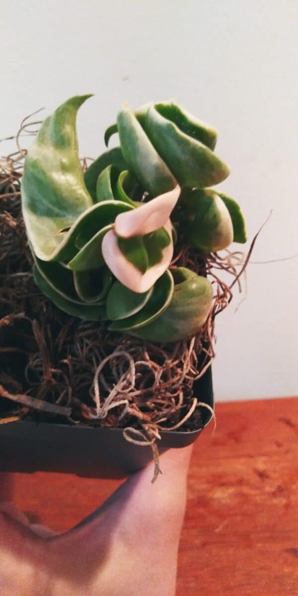 Variegated Hoya Carnosa, Plantly