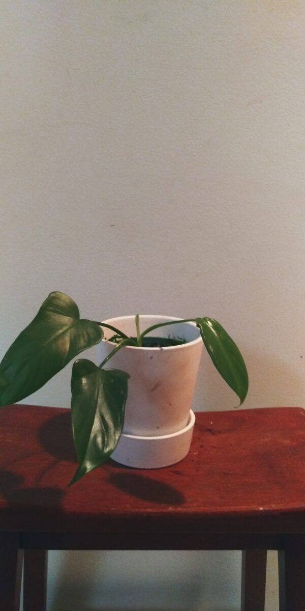 """Philodendron Bipennifolium – """"Horsehead Philodendron"""", Plantly"""