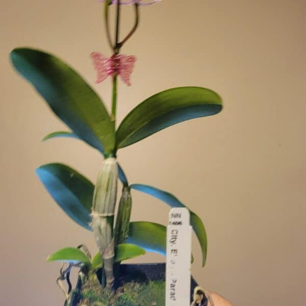 Clty. Ethels Paradise 'Hawaii' | Mature plant | 4″ pot | Fragrant, Plantly