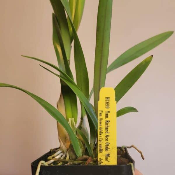 Yamadara Richard Ace Otaki 'Mae'   Indoor live plants   Tropical houseplant   live house plants   Rare Houseplants   Live orchid plants, Plantly