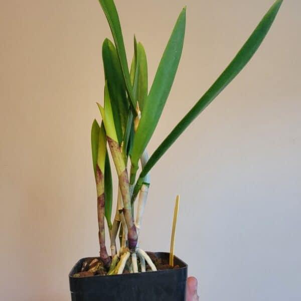 Bc. Kosh Wallis 'Paradise'   Mature plant   3.5″ pot, Plantly
