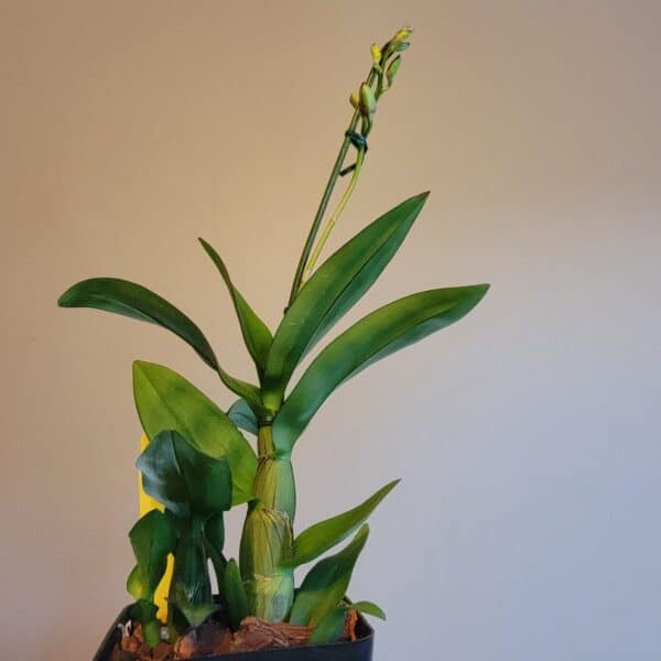 IN SPIKE! | Dendrobium New Hope Mini | Compact growth | 2.5″ pot, Plantly