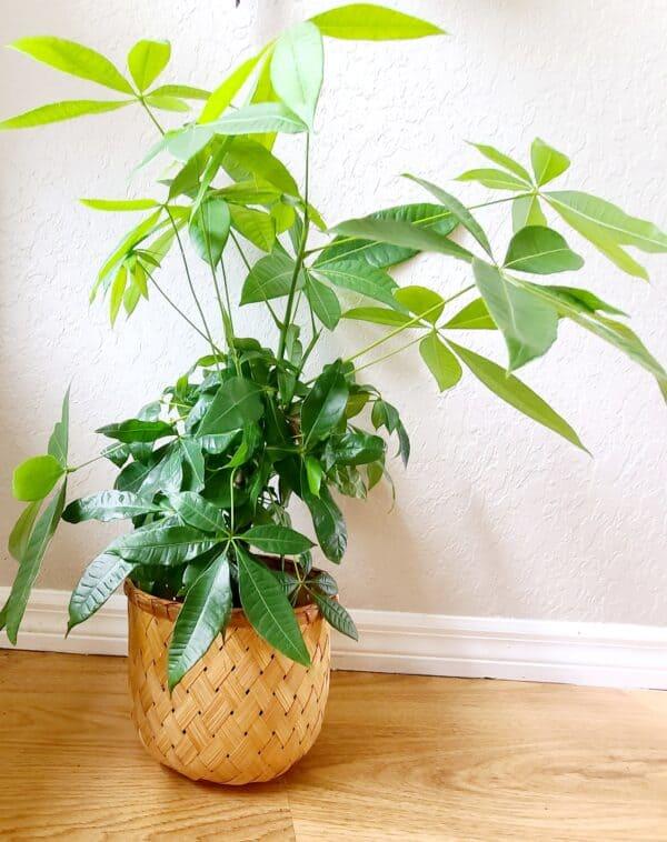 Money Tree – Pachira Aquatica, Plantly
