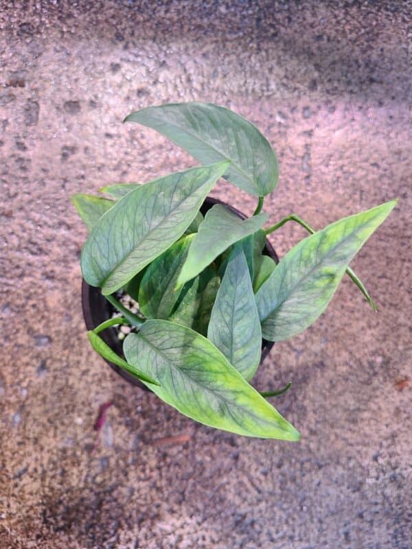 Cebu Blue Pothos | Epipremnum Pinnatum, Plantly