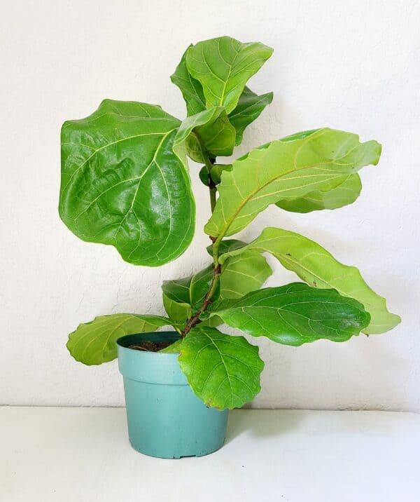 Fiddle Leaf Fig, Plantly