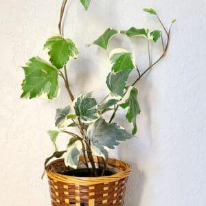 variegated gold child ivy