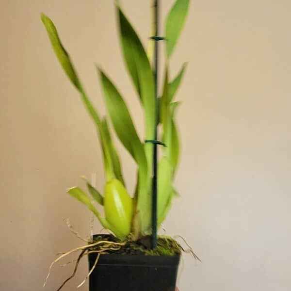 Mtdm. Pacific Paragon 'Honey Butter'   Orchid's in spike!   Indoor live plants   Tropical houseplant   Rare houseplants   Live orchid plants, Plantly