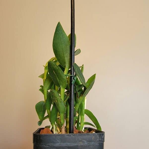 Epi. (Pacific Artist 'Yellow Lip x Pacific Classic 'Huge') x Epi. Pacific Prince   Mature plant   3.5″ pot, Plantly