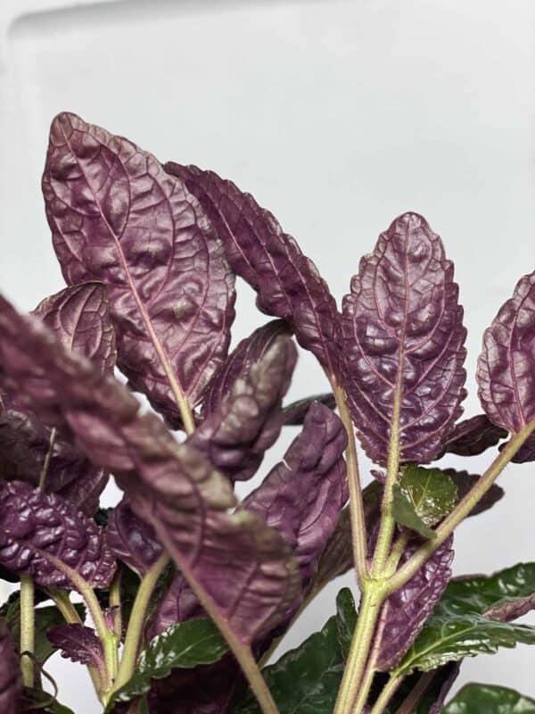 Purple Waffle – Hemigraphis alternata, Plantly