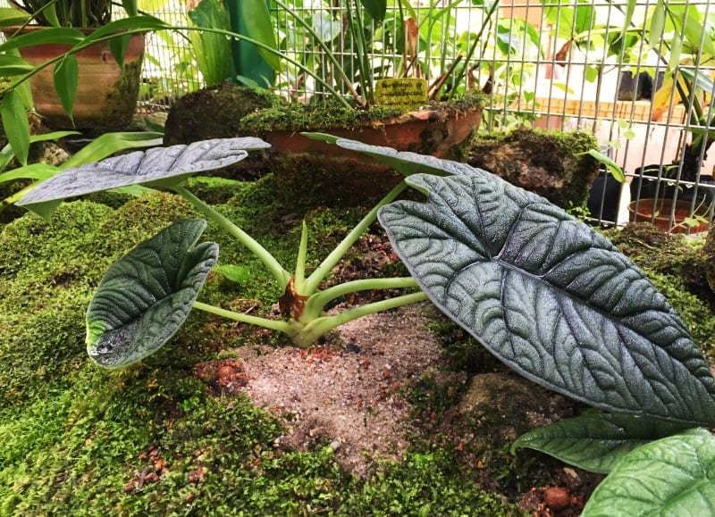 alocasia melo plant