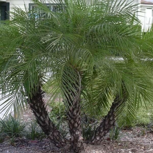 Dwarf Canary Island Date Palm (Phoenix Robellini), Plantly