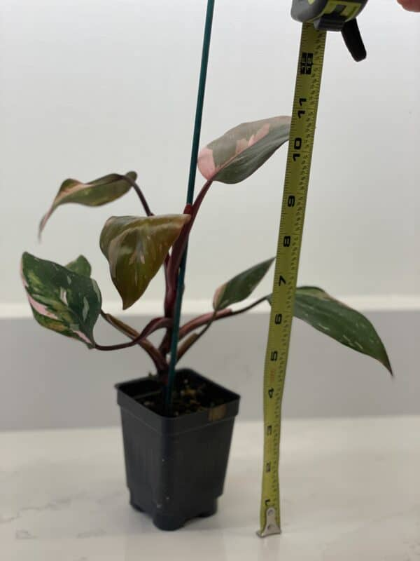 Philodendron 'Pink Princess' (Philodendron erubescens), Plantly