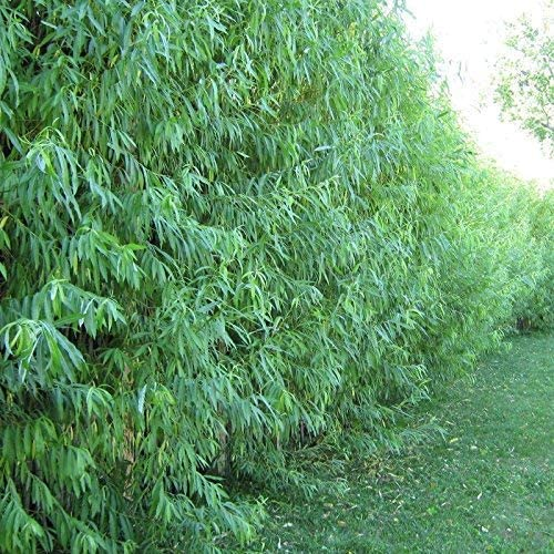Huge 2 ft 24″ Austree Hybrid Willow Salix Cutting Shade, windbreak, fence privacy easy fast, Plantly
