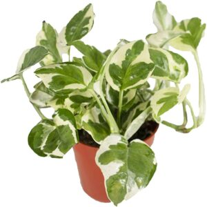 Marble Queen Pothos Care Guide – All You Need to Know, Plantly