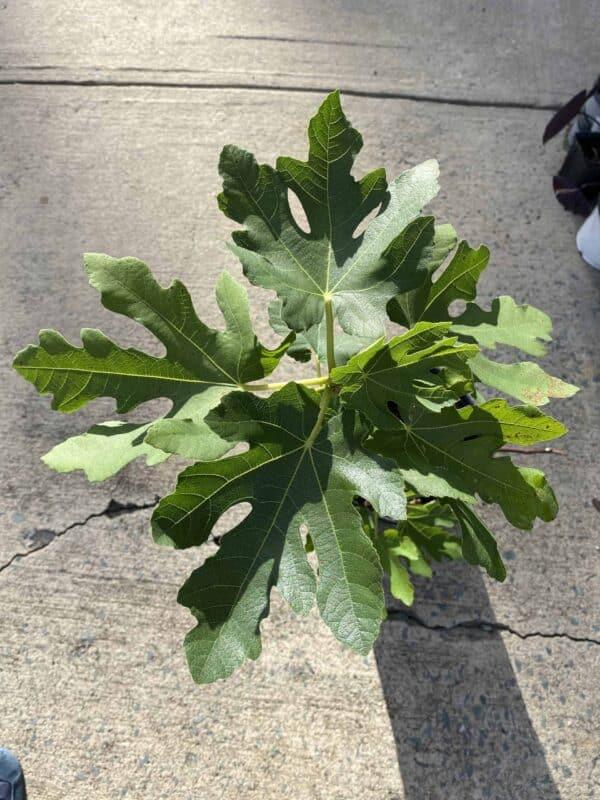 Magnolia Fig Tree, Plantly