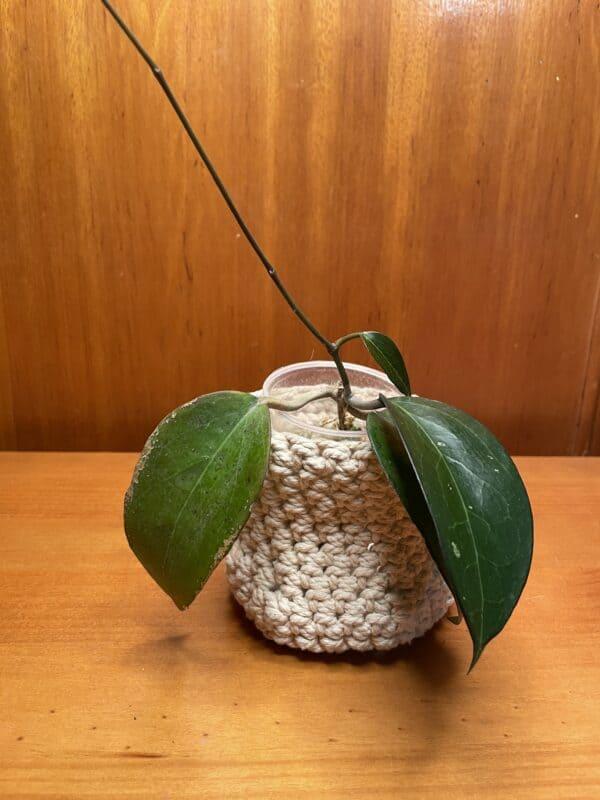 Hoya Fuscomarginata, Plantly