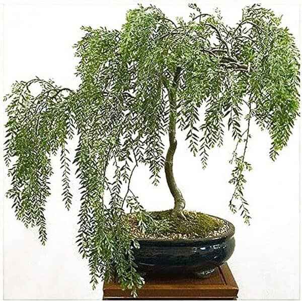 Weeping Willow Bonsai Willow Tree Cutting Kit – Live Bonsai Tree, Plantly