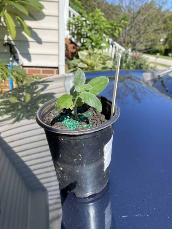 Hummingbird plant / Firecracker plant (Dicliptera suberecta), Plantly