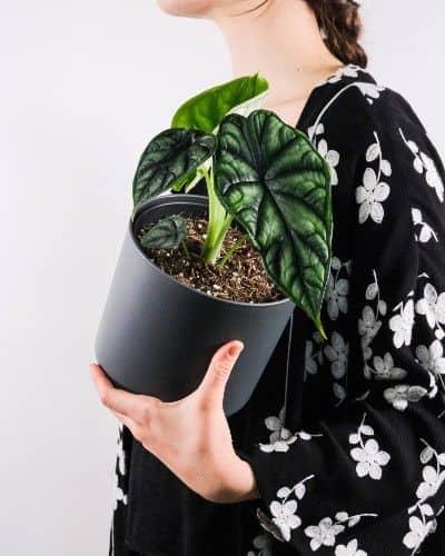 Alocasia Baginda Dragon Scale Plant Care