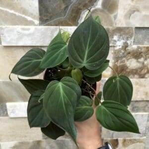 trailing philodendron with velvety heart-shaped leaves