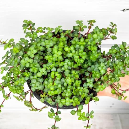 Baby Tears Pilea Glauca House Plant, Plantly