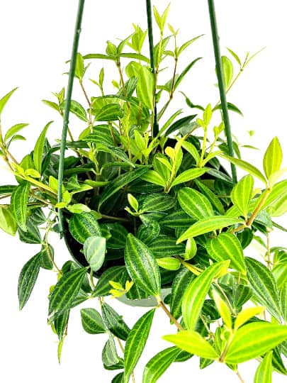Beetle Peperomia Angulata House Plant, Plantly