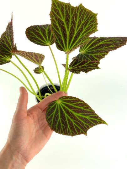 Begonia Chloroneura House Plant, Plantly