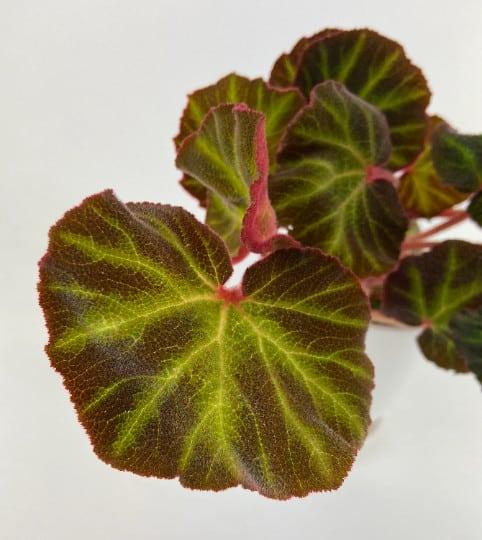 Begonia Soli-Mutata Rhizomatous House Plant, Plantly