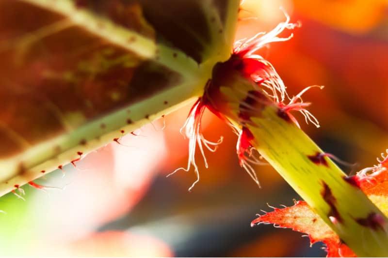 leaf cutting propagation