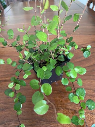 Big Leaf Creeping Wire Vine House Plant, Plantly