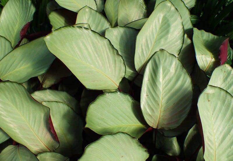 corona calathea plant