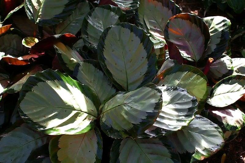 calathea corona plant