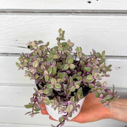 Callisia Pink Panther Tradescantia House Plant, Plantly