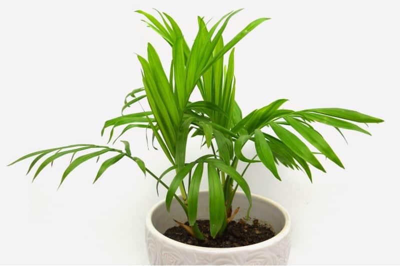 cascade palm plant
