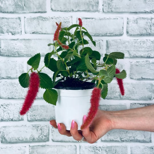 Chenille Plant/Cat Tails/Fire Tails Acalypha Hispida House Plant, Plantly