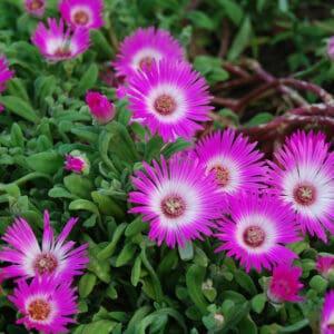 Cleretum Genus Plants on Plantly
