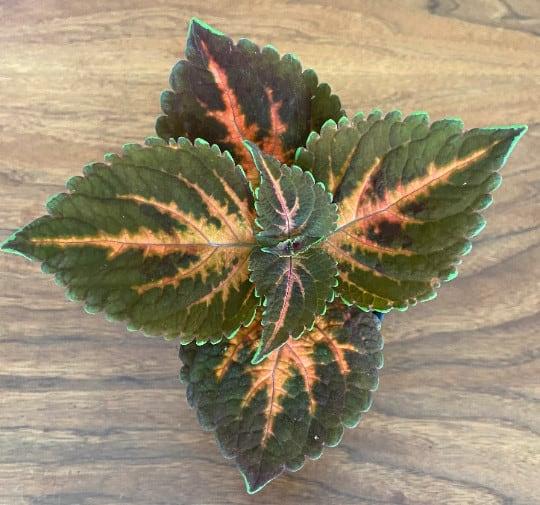Coleus Plectranthus Scutellarioides House Plant 03, Plantly